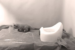 Cute kitten and his potty litter. British Shorthair kitten sitting in its potty litter sand tray for cat, indoor pet stock photos