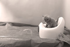 Cute kitten and his potty litter. British Shorthair kitten sitting in its potty litter sand tray for cat, indoor pet royalty free stock photo