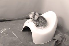Cute kitten and his potty litter. British Shorthair kitten sitting in its potty litter sand tray for cat, indoor pet stock photo
