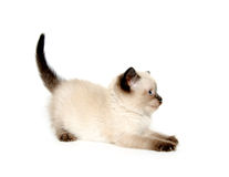 Cute kitten hissing Royalty Free Stock Photo