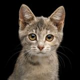 Cute Kitten on Isolated Black Background Royalty Free Stock Image