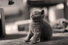 Cute kitten, isolated closeup portrait. British Shorthair kitten isolated portrait, on a black background stock photography