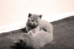 Cute kitten, isolated closeup portrait. British Shorthair kitten isolated portrait, on the carpet royalty free stock photos