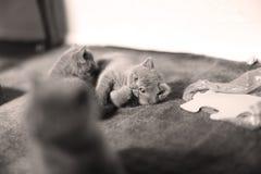 Cute kitten, isolated closeup portrait. British Shorthair kitten isolated portrait, on a the carpet stock photos
