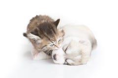 Cute Kitten kissing puppy. Cute kitten kissing siberian husky puppy on white background Royalty Free Stock Photo