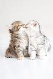 Cute Kitten kissing. On white background Stock Photo
