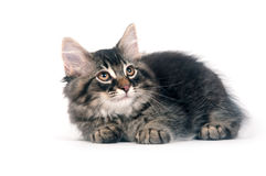 Cute kitten laying down on white background royalty free stock photography
