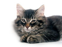 Cute kitten laying down on white background Royalty Free Stock Photo