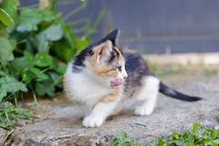 Cute Kitten licking her face outdoor at Summer. Small Cat Sitting In Grass. Cute Kitten licking her face outdoor at Summer. Small Cat Sitting In Grass Stock Image
