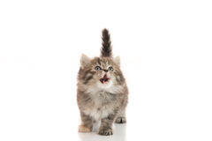 Cute kitten licking lips up on white background Stock Photo