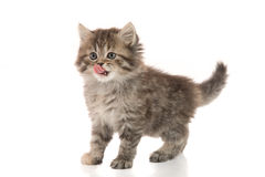 Cute kitten licking lips up on white background Royalty Free Stock Photo