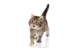 Cute kitten licking lips up on white background Royalty Free Stock Images