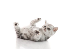Cute kitten lies on his back and plays on a white background Royalty Free Stock Photography