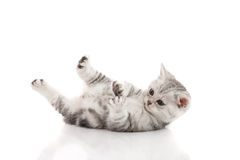 Cute kitten lies on his back and plays on a white background Royalty Free Stock Photo