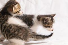 Cute kitten. Litter cat playing Royalty Free Stock Photos