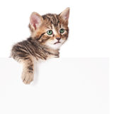 Cute kitten. Cute little kitten with blank billboard on white background Royalty Free Stock Image