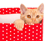 Cute kitten look out of the red gift box Royalty Free Stock Images