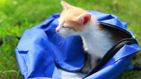 Cute kitten looking from the bag the first time outdoors. stock footage