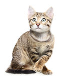 Cute kitten looking up Stock Photography