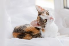 Cute kitten lying on windowsill on a bright white tulle.  Stock Photo