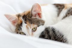 Cute kitten lying on windowsill on a bright white tulle, curled up.  Royalty Free Stock Photos