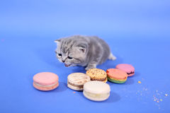 Cute kitten with macarons Stock Image