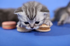 Cute kitten with macarons Stock Photography