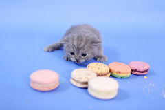 Cute kitten with macarons Royalty Free Stock Photos