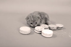 Cute kitten with macaroons Stock Image