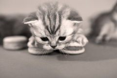 Cute kitten with macaroons Royalty Free Stock Photography