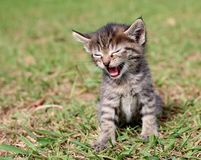 Cute kitten meowing Royalty Free Stock Photos