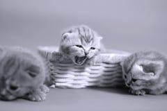 Cute kitten meowing. Cute small kittens in a green basket, studio shoot, one kitten meowing Royalty Free Stock Photo