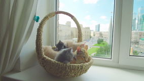 Cute kitten with mother cat stock video footage