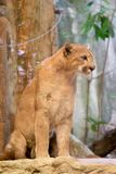 Cute kitten mountain lion Puma concolor. Also commonly known as the cougar, panther, or catamount on a rocky ledge. Animal and wildlife concept. Observation and royalty free stock photos