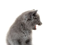 Cute kitten with mouth open Royalty Free Stock Photos