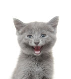 Cute kitten with mouth open Stock Images