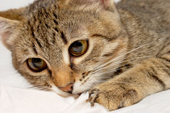Cute kitten. Royalty Free Stock Image
