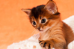 Cute kitten with paw. Cute somali kitten one month old asking attantion with it's paw royalty free stock photography
