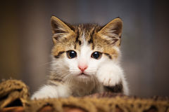Cute kitten. Peeking out of a chair Royalty Free Stock Photography