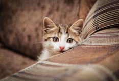 Cute kitten peeking out of a chair. In a home environment Stock Photography