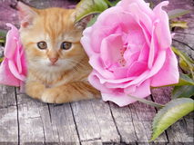 Cute kitten with pink roses Royalty Free Stock Photos
