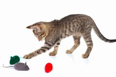 Cute kitten is played with a red, gray and green toy mouse on white background Royalty Free Stock Image