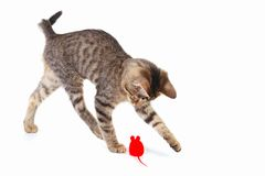 Cute kitten is played with a red toy mouse on white background. Cute kitten is played with a red toy mouse on a white background Royalty Free Stock Photos