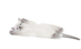 Cute kitten playing Royalty Free Stock Photo