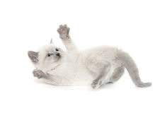 Cute kitten playing Royalty Free Stock Photography