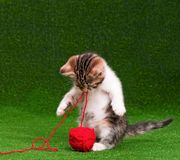 Cute kitten. Playing red clew of thread on artificial green grass stock images