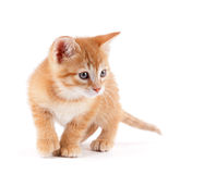 Cute kitten playing on white. Cute orange kitten with large paws playing on a white background Royalty Free Stock Photo