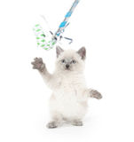 Cute kitten playing on white Stock Photography