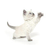 Cute kitten playing on white Royalty Free Stock Photos