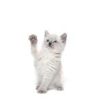 Cute kitten playing on white Royalty Free Stock Image